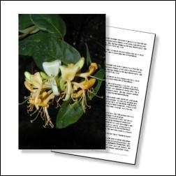 Honeysuckle Bachblüten Karte 10x15 cm lackiert