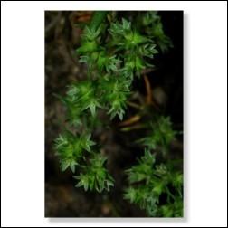 Scleranthus Bachblütenfoto - Bild 30x45cm