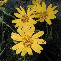 Arnica Blütenessenz 10ml