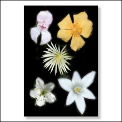 Five Flowers Bachblüten Bild 50x75cm