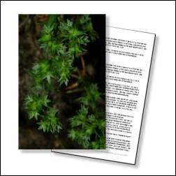 Scleranthus Bachblüten Karte 10x15cm