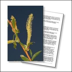 Willow Bachblüten Karte 10x15cm