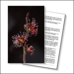 Elm Bachblüten Karte 10x15cm