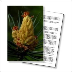 Pine Bachblüten Karte 10x15cm