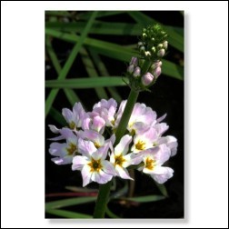 Water Violet Bachblüten Bild 50x75cm