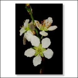 Cherry Plum Bachblüten Bild 50x75cm