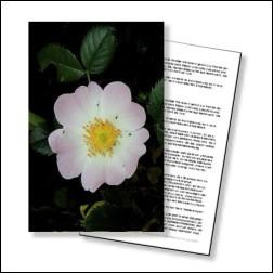 Wild Rose Bachblüten Karte 10x15cm