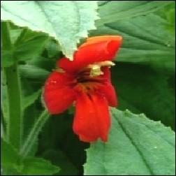Scarlet Monkeyflower Blütenessenz 10ml - Rote Gauklerblume, MFCalif.
