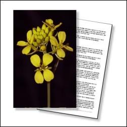 Mustard Bachblüten Karte 10x15cm