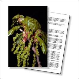 Oak Bachblüten Karte 10x15cm