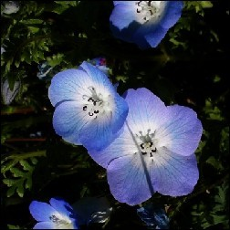 Baby Blue Eyes Blütenessenz 10ml