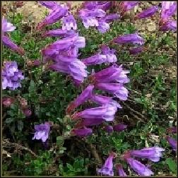Penstemon Blütenessenz 10ml