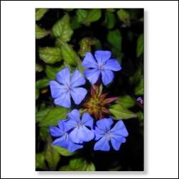 Cerato Bachblüten Bild 50x75cm