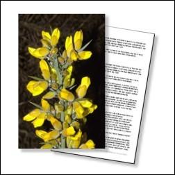 Gorse Bachblüten Karte 10x15cm