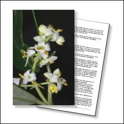 Olive Bachblüten Karte 10x15cm