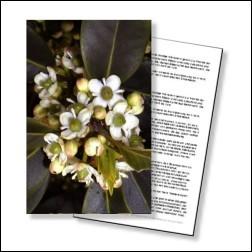 Holly Bachblüten Karte 10x15cm