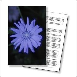 Chicory Bachblüten Karte 10x15cm