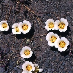 Mariposa Lily Blütenessenz 10ml