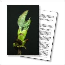 Chestnut Bud Bachblüten Karte 10x15cm