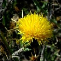 Star Thistle Blütenessenz 10ml
