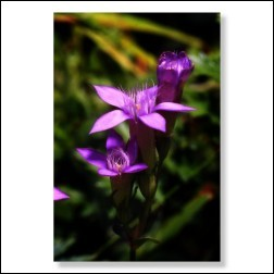 12 Gentian Bachblütenbild - Foto 20x30cm