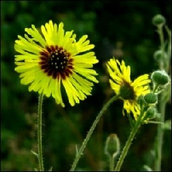 Madia Blütenessenz 10ml