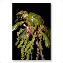 Oak Bachblüten Bild 50x75cm