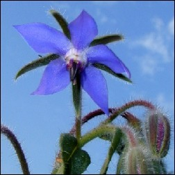 Borage Blütenessenz 10ml