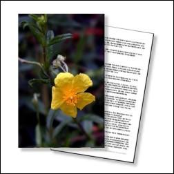 Rock Rose Bachblüten Karte 10x15cm