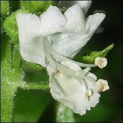 Basil Blütenessenz 10ml