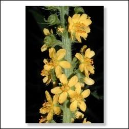 Agrimony Bachblüten Bild 50x75cm