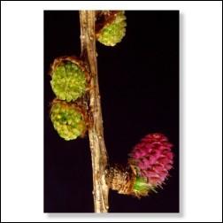 19 Larch Bachblüten Foto 10x15cm