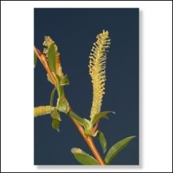 38 Willow Bachblütenbild - Foto 20x30cm