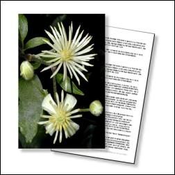Clematis Bachblüten Karte 10x15cm