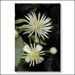 clematis-foto-25059b65e1694362