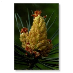 24 Pine Bachblütenbild - Foto 20x30cm