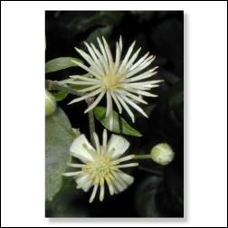 Clematis Bachblütenfoto - Bild 30x45cm