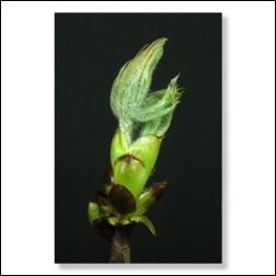 Chestnut Bud Bachblüten Bild 50x75cm