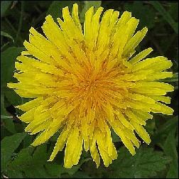 Dandelion Blütenessenz 10ml