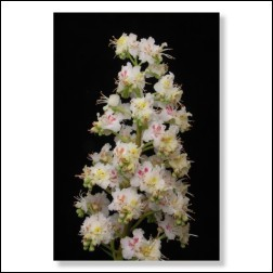 35 White Chestnut Bachblütenfoto - Bild 30x45cm