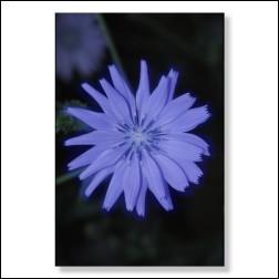 Chicory Bachblüten Bild 50x75cm