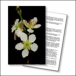 Cherry Plum Bachblüten Karte 10x15cm