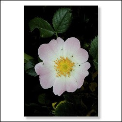37 Wild Rose Bachblütenbild - Foto 20x30cm