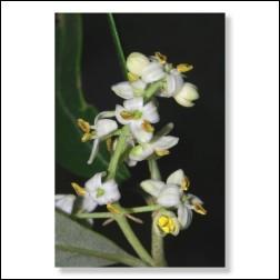 23 Olive Bachblütenbild - Foto 20x30cm