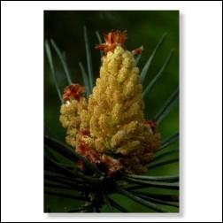 pine-foto-25059b65e0fde346