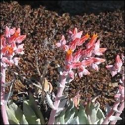 Canyon Dudleya Blütenessenz 10ml