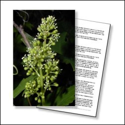 Vine Bachblüten Karte 10x15 cm