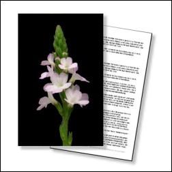 Vervain Bachblüten Karte 10x15cm