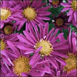 Chrysanthemum Blütenessenz 10ml