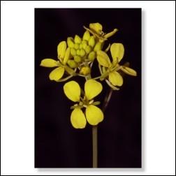 Mustard Bachblüten Bild 50x75cm